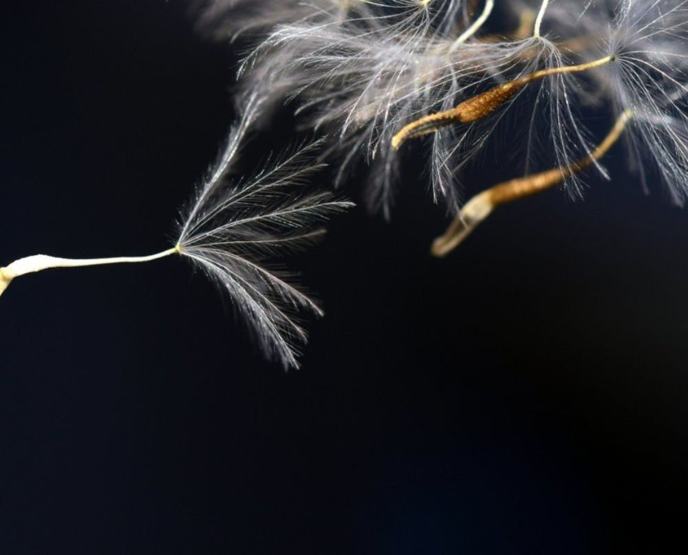 Dandilion Seeds Floating Away in the Wind. Dark Background